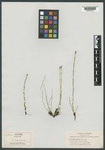 Equisetum fontinale image