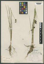 Juncus truncatus image