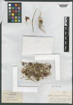 Image of Allium fragile