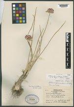 Image of Allium funiculosum