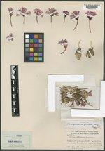 Allium parvum image