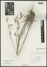 Image of Cymbopogon commutatus