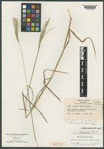 Image of Digitaria ekmanii