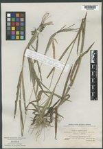 Image of Digitaria cuyabensis