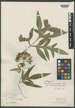 Prionosciadium townsendii image