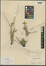 Pseudocymopterus aletifolius image