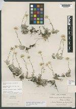 Antennaria rosea subsp. arida image