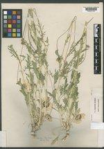 Gaillardia pinnatifida var. pinnatifida image