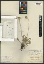 Hymenopappus scaposus image