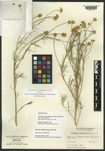 Hymenoxys chrysanthemoides image