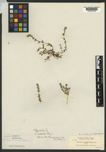 Allocarya jucunda image