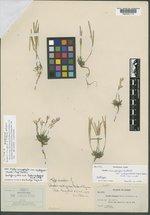 Arabidopsis lyrata image