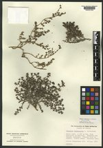 Tiquilia tuberculata image