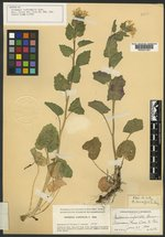 Cardamine cardiophylla image