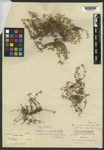 Alsinopsis macrantha image