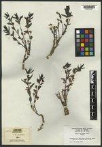 Argythamnia cyanophylla image