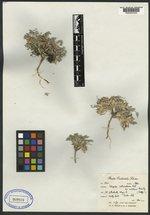 Astragalus castaneiformis image