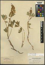 Lupinus crassus image