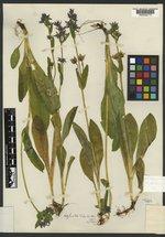 Swertia palustris image