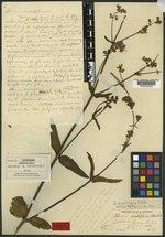 Allionia sessilifolia image
