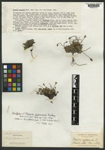 Papaver pygmaeum image