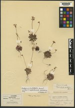Androsace pinetorum image