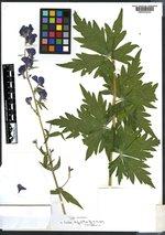 Aconitum insigne image