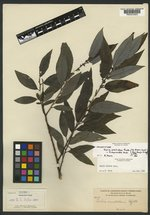 Salix acutidens image