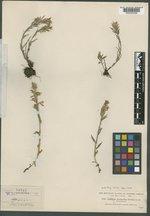 Castilleja chrysantha image