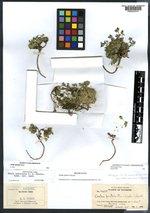 Draba apiculata image