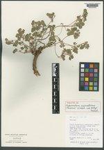 Pediomelum aromaticum image