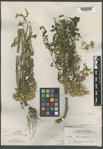 Senecio eremophilus var. kingii image