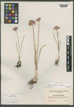 Image of Allium pikeanum