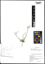 Boechera glareosa image