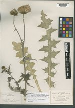 Cirsium greenei image