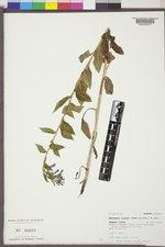Mertensia ciliata image