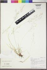 Agrostis oregonensis image