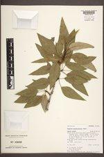 Populus angustifolia image