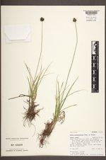 Carex pachystachya image