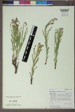 Stephanomeria fluminea image