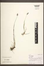 Phleum alpinum image