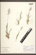 Dichanthelium acuminatum subsp. acuminatum image