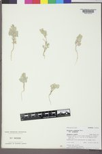 Atriplex argentea var. argentea image