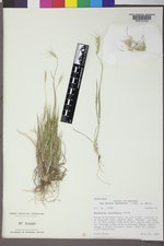 Elymus scribneri image