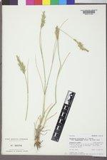 Agropyron cristatum image