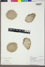 Opuntia polyacantha var. polyacantha image