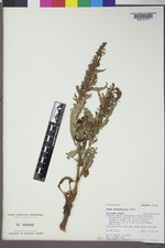 Rumex stenophyllus image