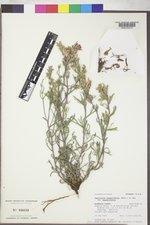 Castilleja angustifolia image