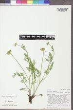 Pseudocymopterus montanus image