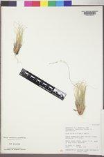 Achnatherum swallenii image